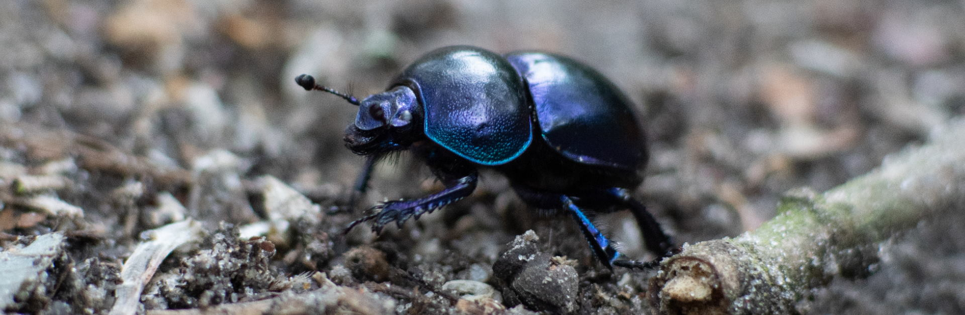 Dung Beetles header